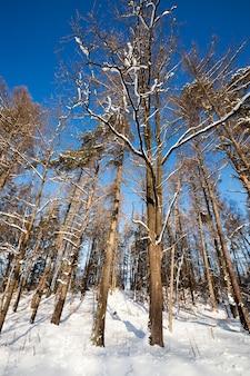 Деревья, покрытые снегом в зимний период.