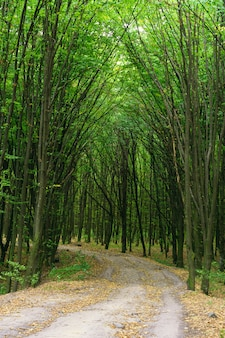 Trees covering the road in the forest