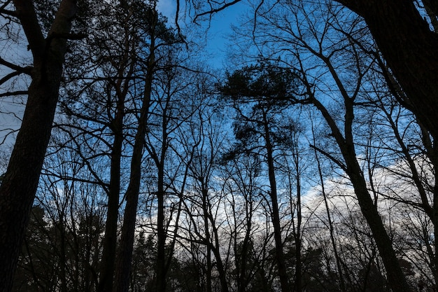 Trees in the forest in winter. photographed against a blue sky, backlit.