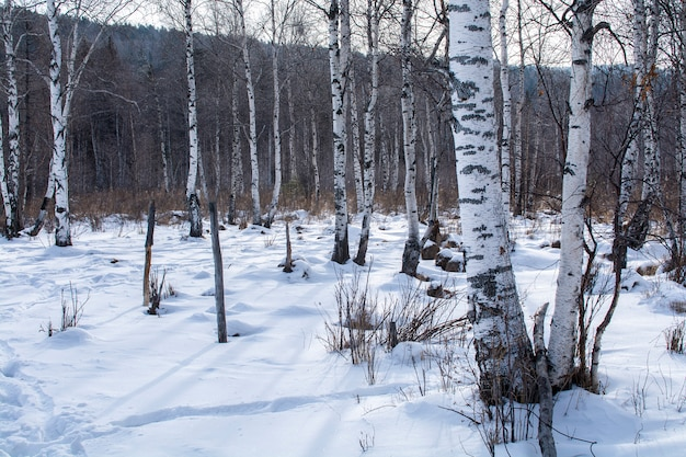 Trees in forest with snow on ground in winter, landscape