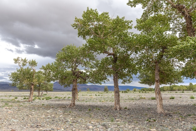 Trees grow in the rocky soil of the mongolian mountains
