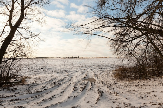 The trees growing along the border of the field in winter, the whole territory and plants are covered with snow