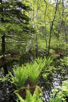 숲, 세인트 루이스 드 켄트, 뉴 브런 즈윅, 캐나다에서 연못으로 자라는 나무
