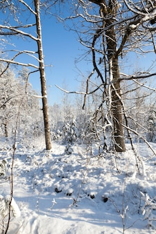 森に生えている木々。降雪後の冬の写真。
