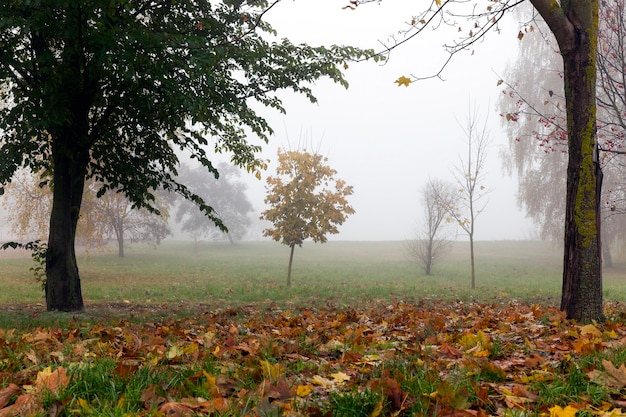 Деревья, растущие в парке в осенний сезон в небольшом тумане. листва упавшего на землю клена и темные стволы растений.