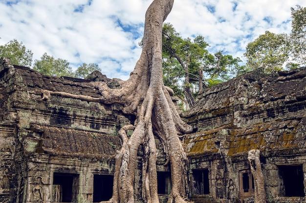 따 프롬 사원, 캄보디아의 앙코르 와트에서 자라는 나무. 프리미엄 사진