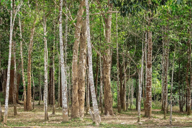 Trees growing in thailand.