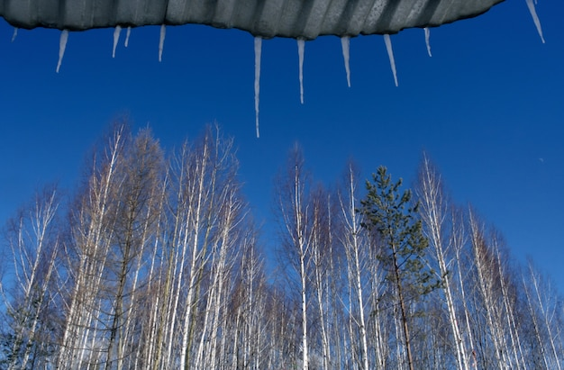 Trees and icicles on blue sky.