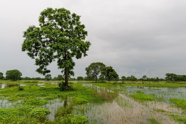 Mato grosso pocone mato grosso brazil의 pantanal에서 장마철 습지의 나무들