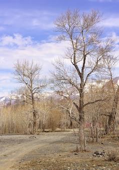 알타이 산맥의 나무 추이 계곡 길가의 봄철 벗은 식물