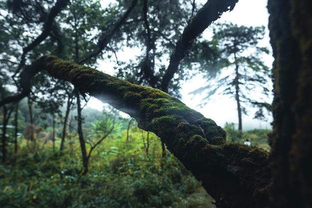霧の中の木々、松の木のある荒野の風景の森