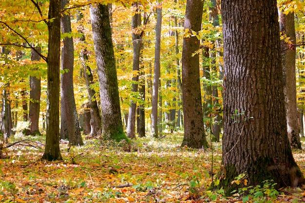 秋に黄色の葉が落ちる森の木々。