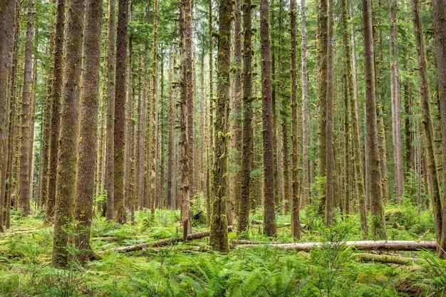 ワシントン州オリンピック国立公園のホー熱帯雨林の木々