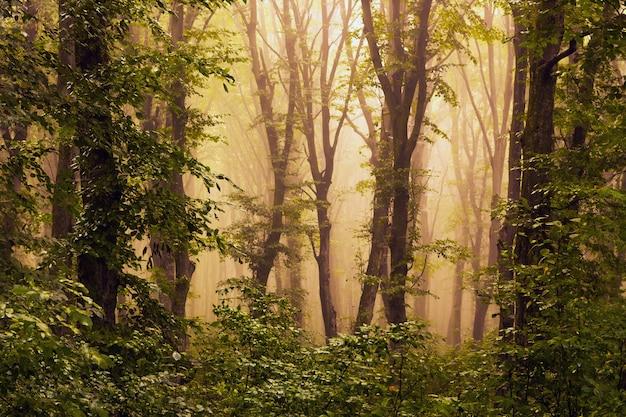 日の出の間に霧の中の木。森の中の朝の霧に日光が差し込む
