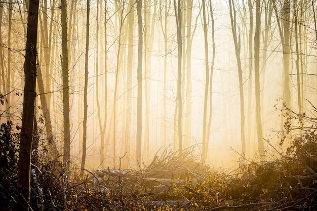 日の出の朝の霧の森の木々