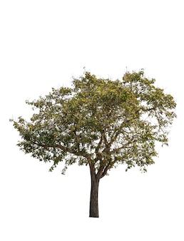 Деревья, изолированные на белом, тропические деревья в азии.