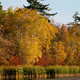 Trees at the lakeside, lake of the woods, ontario, canada