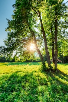 Trees of oaks in a field with green grass and sun at sunset