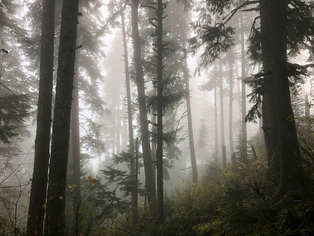 오레곤, 미국에서 안개에 덮여 숲의 나무