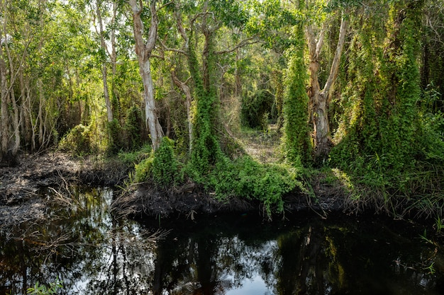 Trees (paperbark tea trees) with ivy trees on peat swamp forest