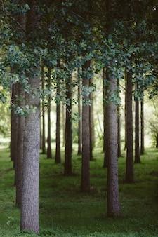 森の中に一列に植えられた木