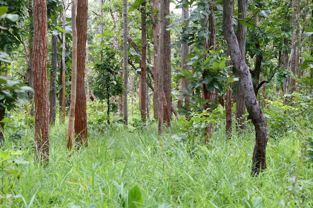 Trees in the rainforest of thailand terrain.