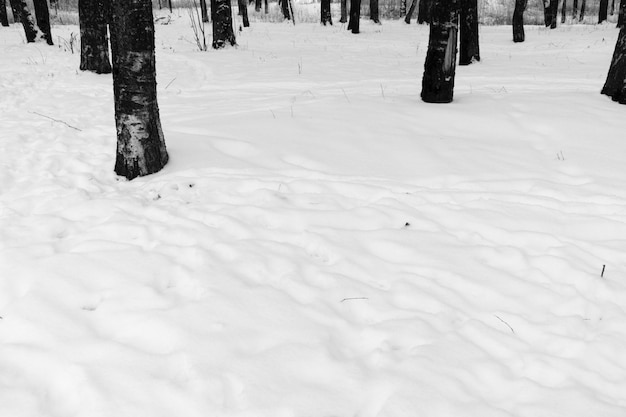 Trees and snow in the park in black and white