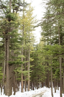 Trees of usho forest in kalam swat scenery landscape