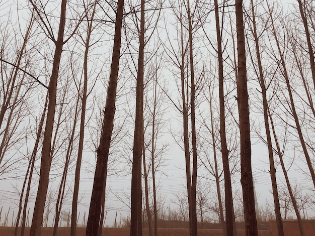 Trees in a winter forest on a foggy day