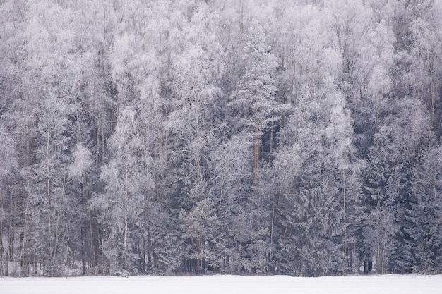 Trees  in winter forest in rime and snow in frost