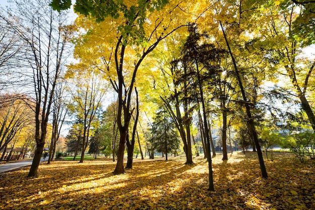Деревья с опавшими желтыми листьями в осеннем парке.