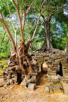 Trees with long roots on the ancient ruins in the angkor, cambodia