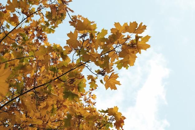 青い空を背景に黄ばんだ葉を持つ木。秋の風景