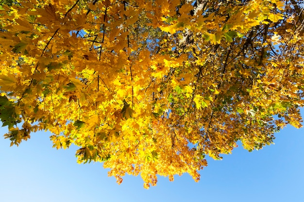 Trees with yellowed maple leaves in autumn season.