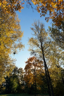 Trees with yellowed maple leaves in autumn season