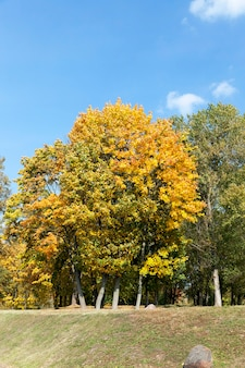 Деревья с пожелтевшими кленовыми листьями в осенний сезон. снимок сделан крупным планом, на заднем плане видно голубое небо. раннее осеннее солнце