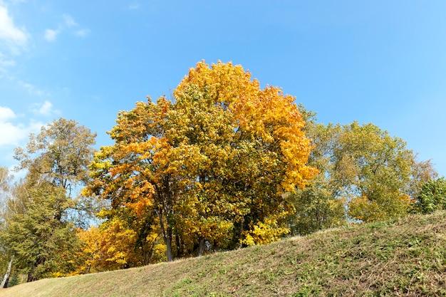 노란 단풍 나무가 가을 시즌에 나뭇잎.