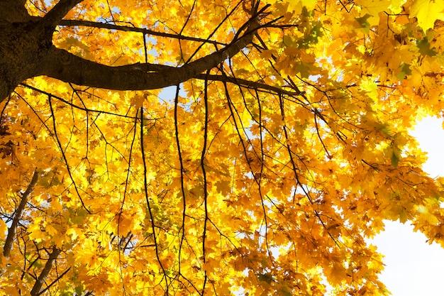 가을철에는 단풍잎이 노랗게 물든 나무,