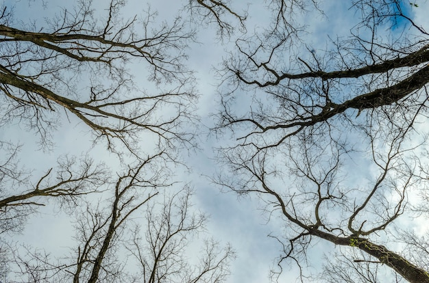 Trees without leaves and blue sky