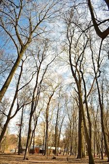 春の公園の葉のない木