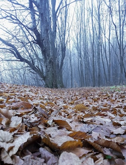 우울한 가을 숲에 잎이없는 나무, 온 땅이 마른 잎으로 덮여 있습니다. 기분 나쁜 날이다