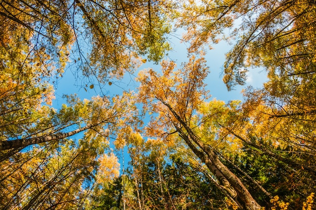 Treetops in the autumn forest