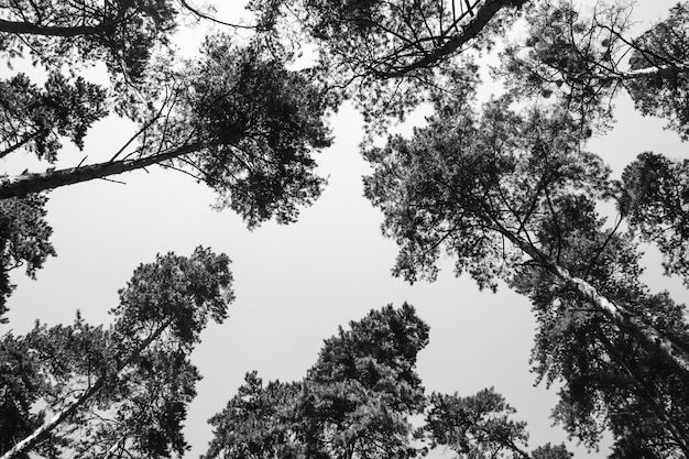 白い背景の上の木のてっぺん。黒と白の写真。空のテキストの下に配置します。抽象化