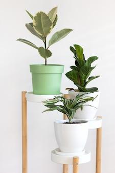트렌드 꽃 ficus elastica, 흰 벽 실내 가정 배경에 고무 무화과. 도시 정글 개념.