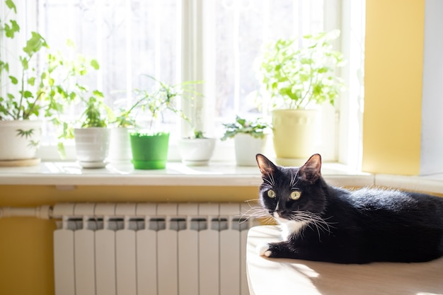 Trendy home interior: blur window with green house plants and with black cat lying on table and basking in sun.