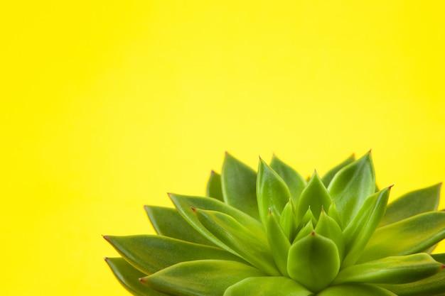 黄色の背景にトレンディなジューシーなハオルチアcymbiformisクローズアップ