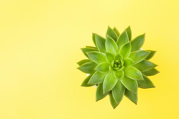 黄色の背景にトレンディなジューシーなhaworthiacymbiformisのクローズアップ