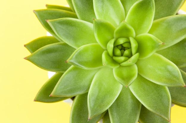 Trendy succulent haworthia cymbiformis closeup on yellow