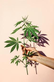 Trendy sunlight hand with bush of marijuana, hemp on the background of pink wall