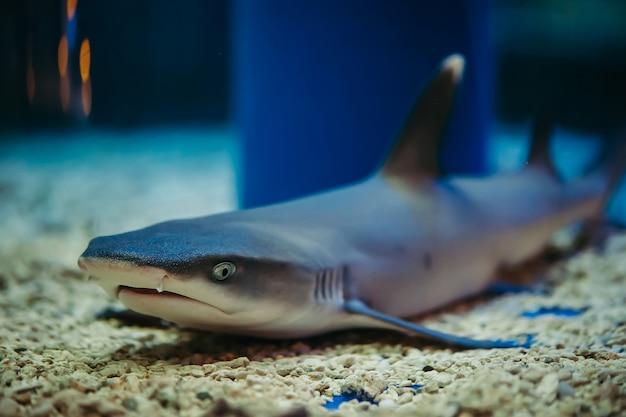 Акула лежит на каменистом дне. triaenodon obesus.